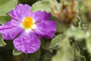 Cistus incanus - Heilpflanze